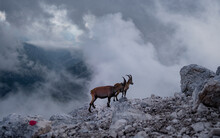 Chamois, Rupicapra Rupicapra, On The Rocky Hill In The Julian Alps, Above Luca Vuerich Bivouac (Friuli, Italy). Wildlife Scene In Nature. Animal With Horn In The Habitat.