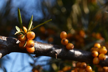 Sea Buckthorn Bright Yellow Berries On The Tree