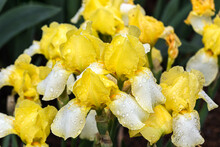 """Blessed Again"" Intermediate Bearded Iris. Green Plants In Background."