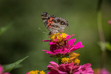 American Painted Lady Butterfly Closeup
