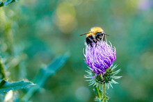 Selective Focus And Close-up Of Bumblebee On A Milk Thistle Flower