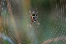 Argiope Bruennichi Lurking In A Spider Net