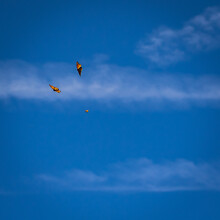 Two Monarch Butterflies Flying In Front Of Bright Blue Sky And White Cloud Streaks