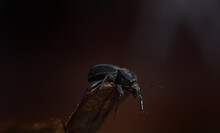 A Black Beetle (Scaurus Uncinus) Climbs Over A Bark In Front Of A Dark Background