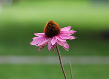 Side View Of Pink Purple Echinacea Flower Against Soft Green Background