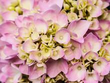 Close Up Of Pink Hydrangea