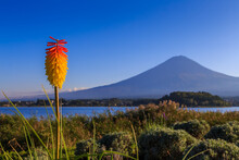 Aloe Vera Flower With Fuji Mountain On The Background View From Kawaguchi Lake