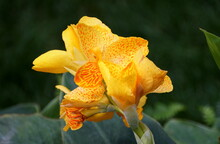 Beautiful Canna 'Happy Emily CannaSol' Flowers At Full Bloom