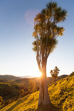 Cabbage Trees On Hillside In Sunlight, East Cape