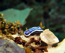 A Chromodoris Lochi Nudibranch Boracay Island Philippines