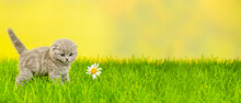 Small Gray Fold Kitten Playing With Paw With Chamomile Flower On Green Grass