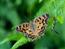 Colorful  Asian Comma Butterfly On Fern Leaf
