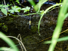 Female White-tailed Skimmer Dragonfly Lay Eggs Beneath The Grasses Of A Small Japanese Wetland