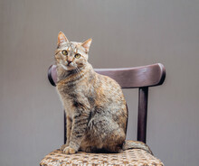 Cute Domestic Ginger Cat Sitting On Chair And Looking At Camera.
