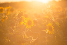 The Field Of Sunflowers Is Flooded With Sunlight