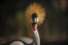 Close-up View Of A Black Crowned Crane Balearica Pavonina