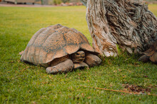 Closeup Shot Of A Gopher Tortoise On The Grassy Ground Near A Tree