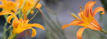 Image Of Beautiful Lily Flowers Close-up