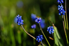 Muscari Hyacinth Blue Flowers Grow On A Flower Bed In Spring
