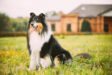 Tricolor Rough Collie, Funny Scottish Collie, Long-haired Collie, English Collie, Lassie Dog Posing Outdoors Near Old House