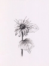 Pen Drawing With Sunflower. Hand Drawn Ink Sketch Illustration. Interior Decoration, Vintage Print, Vertical Wallpaper, Post Card, Harvest Concept, Healthy Food Package. Monochrome Artwork On Paper.