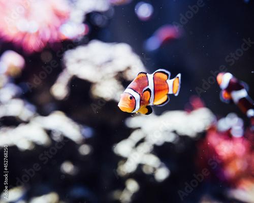 Canvas Print Clownfish in Tank