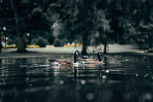 Two Black Brown Ducks Floating On The Lake In The Forest