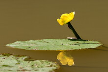 Reflet De Nénuphar Jaune Dans L'eau De L'étang