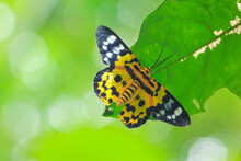 An Yellow And Black Color Butterfly Sitting On Green Leaf In The Forest Of Bangladesh.