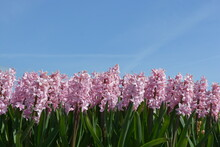 Pink Hyacinths In Spring With Blue Sky Background