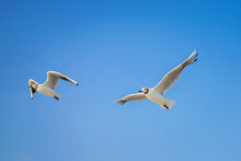 Two Seagulls Are Flying Against The Blue Sky. Seabirds Gracefully Spoil In The Air.
