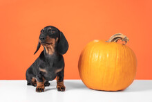 Funny Dachshund Puppy Sits On Orange Background And Pumpkin Jack Lantern, Copy Space. Preparing To Celebrate Halloween. Cut A Creepy Or Cute Pumpkin For Halloween.
