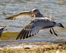 Seagull Stock Photo And Image. Flying Over Water Towards Another Seagull With Open Beak With A Blur Waterbackground In Its Environment And Habitat Surrounding.