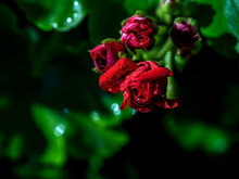 Beautiful Rosebud Red Geranium In The Garden