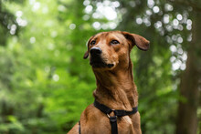 Portrait Of A Chestnut-brown Short Haired Mongrel Dog