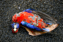 Close Up Of Dead Native Australian Crimson Rosella Bird That Has Been A Victim Of Road-kill