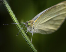 A White Butterfly On A Stalk