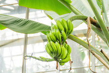 Musa Young Green Banana Fruit Growing In The Tropics. Bananas On The Tree. Musaceae Family.