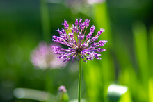 Allium Fistulosum On A Background Of Green Grass In The Park. High Quality Photo 2