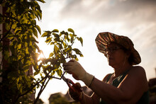 Woman Gardener Pruning The Plants