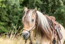 Portrait Of A Norewegian Fjord Horse Wth Long Mane  On A Wildflower Meadow