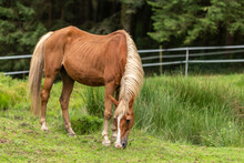 Portrait Of A Very Old Horse Grazing On A Meadow