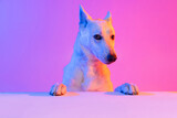 Portrait of purebred dog, White Shepherd isolated over studio background in neon gradient pink light filter. Concept of beauty, action, pets love, animal life.