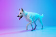 Funny big dog, White Shepherd isolated over studio background in neon gradient blue purple light filter. Concept of beauty, action, pets love, animal life.