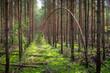 las sosnowy i wygięte w łuk drzewo, jak czarna owca w rodzinie