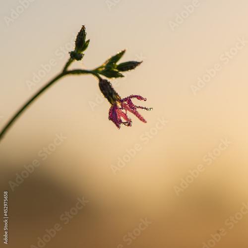 Purple meadow flowers in a drop of dew at dawn.