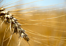 A Ripe Ear Of Wheat, Bright Golden Color With Long Tendrils, Close-up, The Ear Bent To The Ground - The Grain Is Ripe And Ready For Harvesting