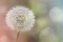 White, Fluffy Dandelion Seeds Close Up, Natural Background