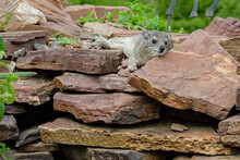 Rock Hyrax Lounging On Rocks In Serengeti National Park, Tanzania