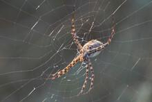 Large Spider Argiope Bruennichi On A Web.